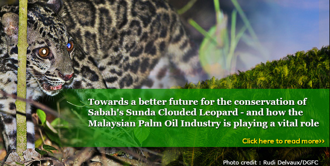 Towards a better future for the conservation of Sabah's Sunda Clouded Leopard – and how the Malaysian Palm Oil Industry is playing a vital role